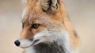 Photo of Będą szczepić lisy