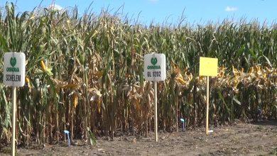 Photo of Dzień kukurydzy i soi