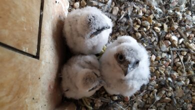 Photo of Trzy młode sokoły w gnieździe Azotów zaobrączkowane