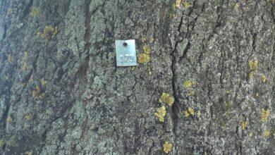 Photo of Które drzewa w Puławach do wycinki?